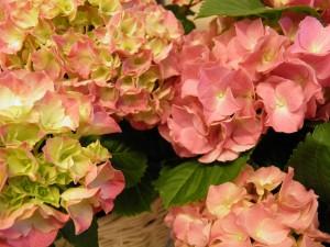 Hortensia on äitienpäivän kukkien kestosuosikki