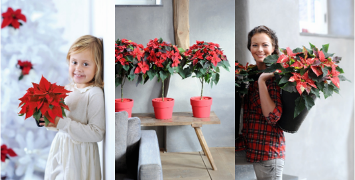 Kukkakauppa Broncon joulukukat